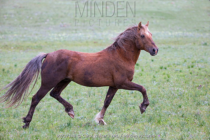Wild Mustang stallion named Bolder trots in the high meadow in the Pryor Mountains of Montana.