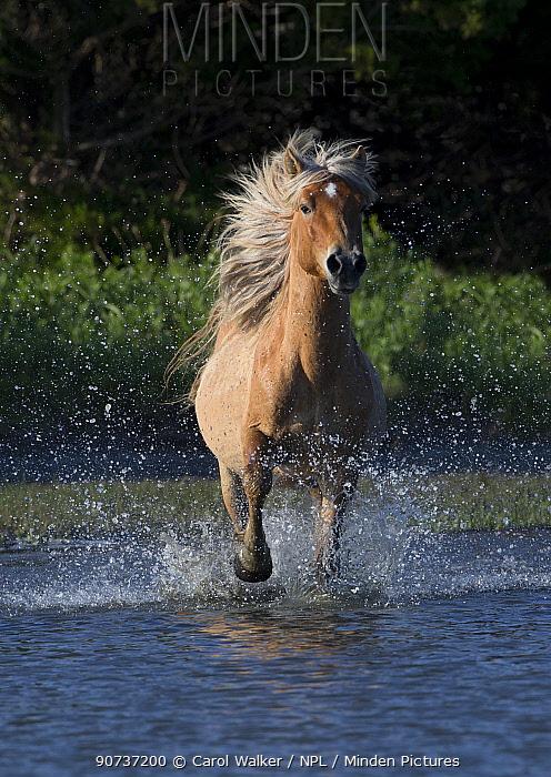 Wild Mustang stallion  running in water on Carrott Island, North Carolina, USA. May.