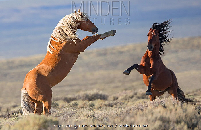 Two wild Mustang stallions fighting in the White Mountain Herd Area, Wyoming, USA. August.