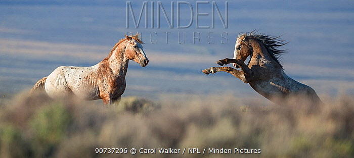 Two wild Mustang stallions fighting in White Mountain Herd Area, Wyoming, USA. August.