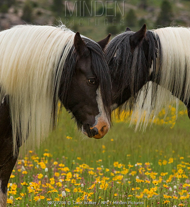 Head portrait of two Gypsy vanner geldings close together at ranch in Wyoming, USA. June.