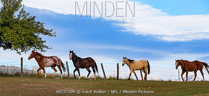Four ranch Quarter horses walking beside fence in Montana, USA. October.