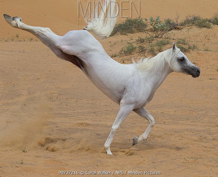 Grey Arabian stallion kicking up heels in desert dunes near Dubai, United Arab Emirates.