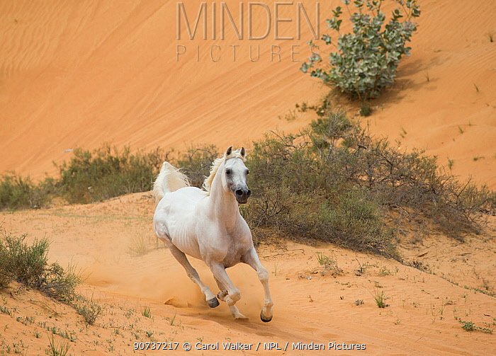 Grey Arabian stallion running in desert dunes near Dubai, United Arab Emirates.
