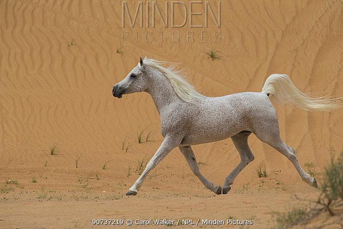 Grey Arabian stallion running in  desert dunes with tail raised, near Dubai, UAE.
