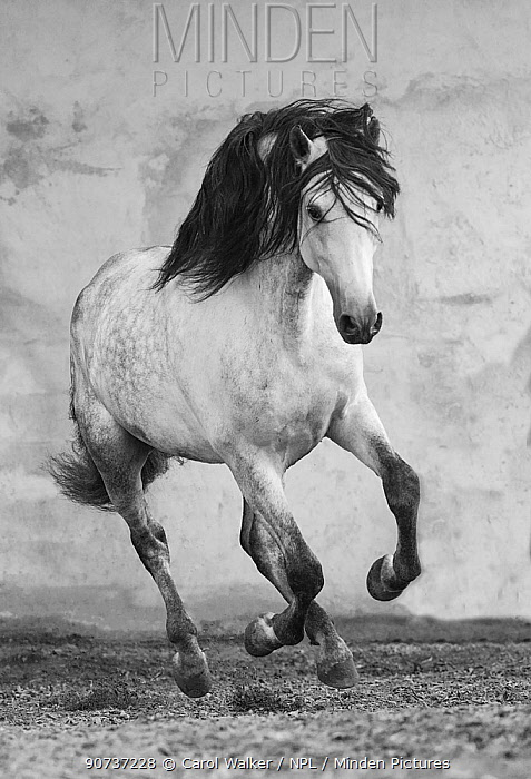 Grey Andalusian stallion running in arena in Northern France, Europe. March.
