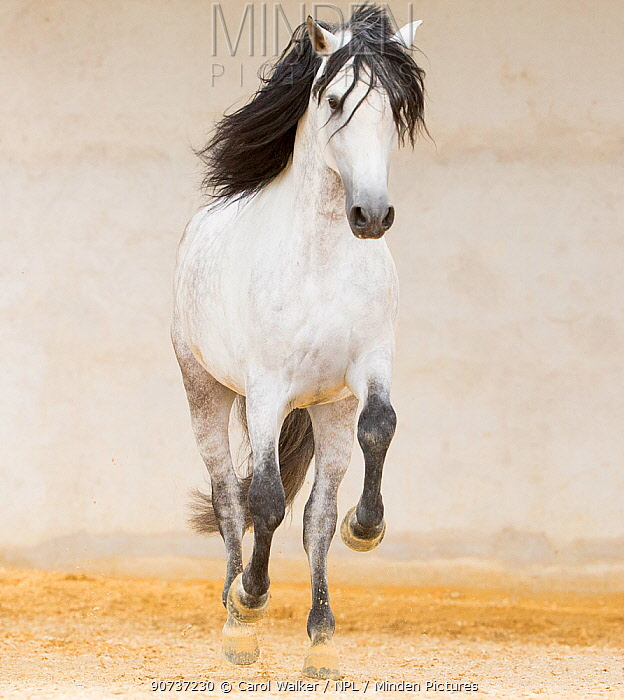Grey Andalusian stallion cantering in arena, Northern France, Europe. March.