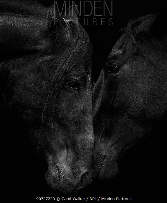 Head portrait of black Andalusian stallion and mare meeting for the first time in southern Spain, Europe.