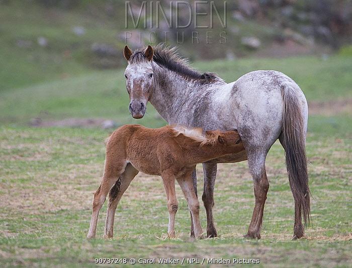 Formerly wild Appaloosa mare nursing filly at Black Hills Wild Horse Sanctuary, South Dakota, USA. May.