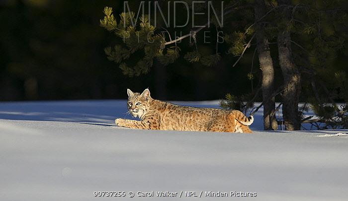 Bobcat (Lynx rufus) moving through deep snow, Yellowstone National Park, Montana, USA. January.