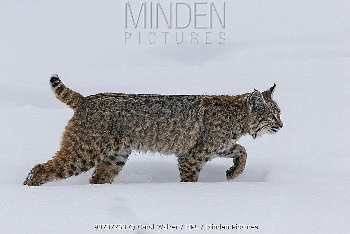 Bobcat (Lynx rufus) walking in snow, Yellowstone National Park, Montana, USA. January.