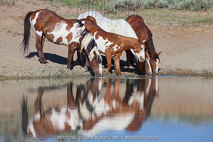 Wild Mustang stallion with pinto family drinking at waterhole in Sand Wash Basin, Colorado, USA.  June 2013.