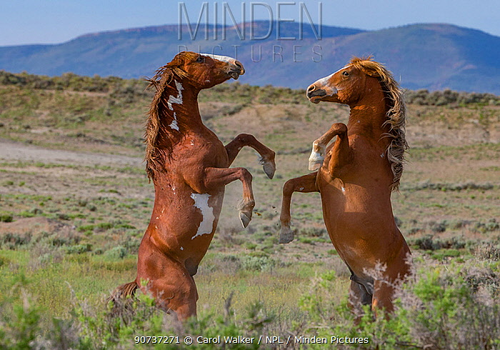 Two wild pinto Mustang stallions battling for dominance in Sand Wash Basin, Colorado, USA. May 2014.