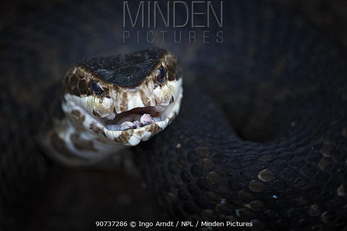 Cottonmouth or Water Moccasin (Agkistrodon piscivorus), in defensive posture, venomous, Everglades, Florida, USA, January.