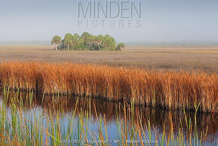 Swamp sawgrass (Cladium mariscus) prairie and Cabbage palm (Sabal palmetto) Island in mist, Big Cypress National Preserve, Everglades, Florida, USA, January 2015.