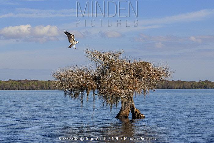 Osprey (Pandion haliaetus) landing on nest, Blue Cypress Lake, Florida, USA, January.