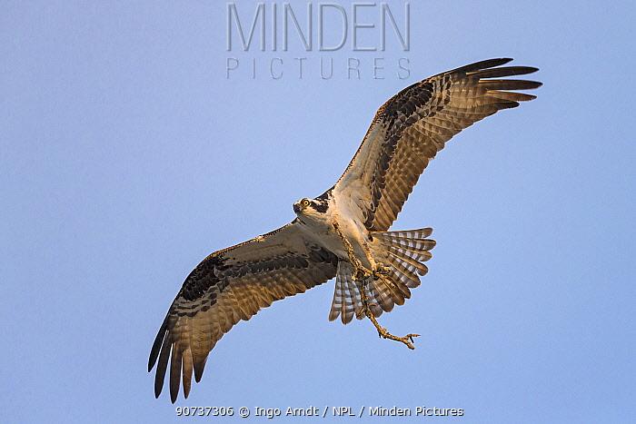 Osprey (Pandion haliaetus) carrying branch to build nest, Sanibel Island, Florida, USA, January.