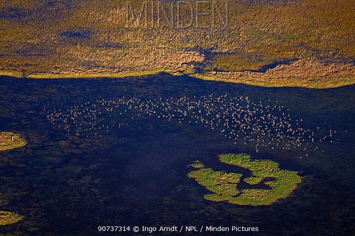 Blue-winged teal (Anas discors) aerial of flock flying,  Everglades National Park, Florida, USA, January 2015.