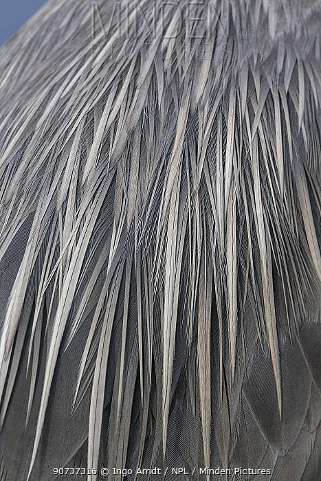 Great blue heron (Ardea herodias) feathers detail on back, Florida, USA, January.