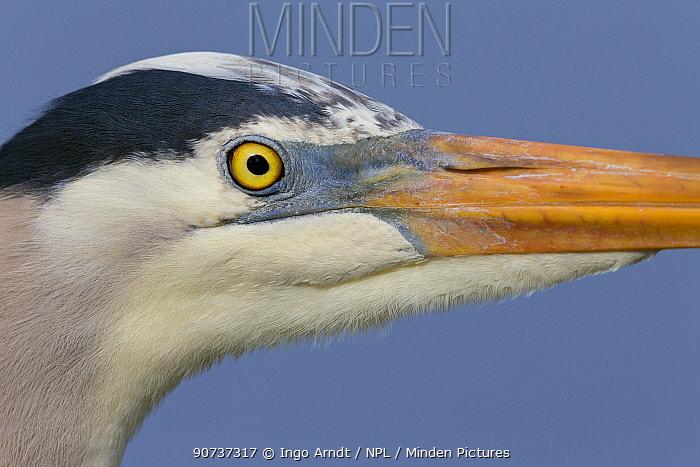 Great blue heron (Ardea herodias), Florida, USA, January.