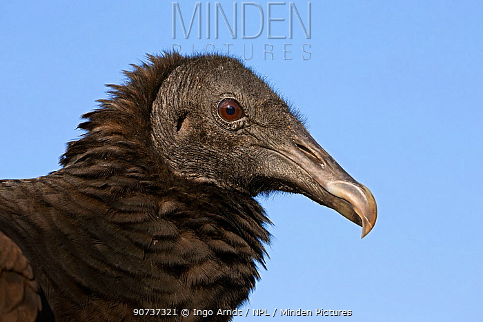 American black vulture (Coragyps atratus) portrait, Everglades National Park, Florida, USA, January.