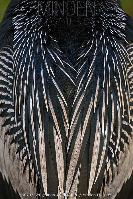 American darter (Anhinga anhinga), close up, detail of feathers on back, Everglades National Park, Florida, USA, January.
