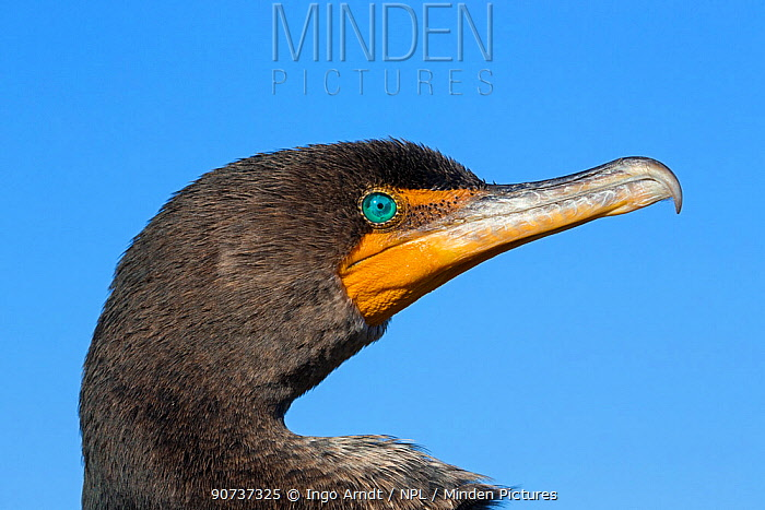 Double-crested Cormorant (Phalacrocorax auritus) adult, portrait, Everglades National Park, Florida, USA, January.