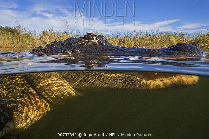 American alligator (Alligator mississippiensis) split level, Everglades, USA, January.