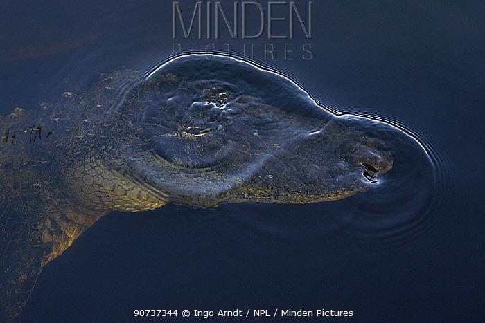 American alligator (Alligator mississippiensis) diving, Everglades, USA, January.