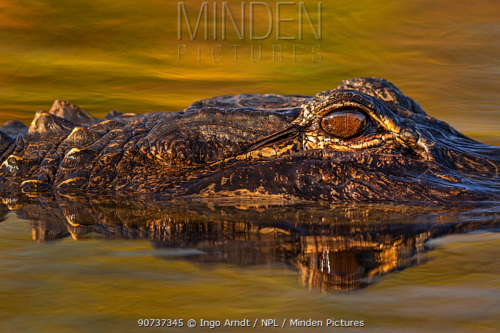 American alligator (Alligator mississippiensis) detail of eye, Everglades, USA, January.