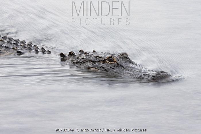 American alligator (Alligator mississippiensis), Everglades, USA, January.