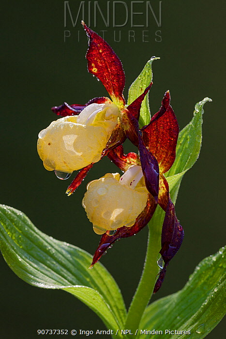 Pink lady slipper orchid (Cypripedium calceolus) flowering, Germany, May.