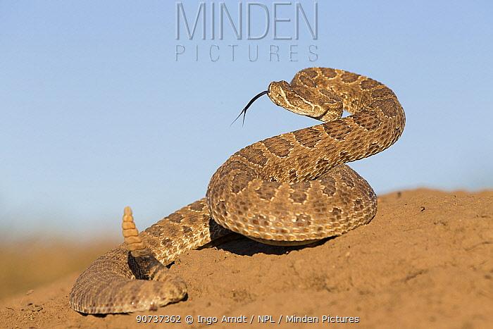 Prairie rattlesnake (Crotalus viridis viridis), threat display, South Dakota, USA September.