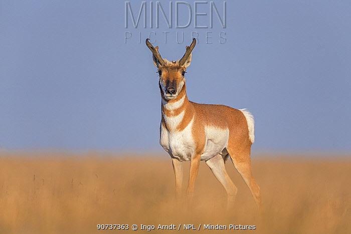 Pronghorn antelope (Antilocapra americana) buck on prairie, South Dakota, USA September.