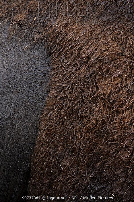 Bison (Bison Bison) close up of fur, Custer State Park, South Dakota, USA September.