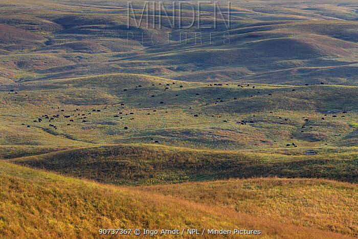 American bison (Bison bison) herd of adults and calves on prairie, South Dakota, USA September 2014.