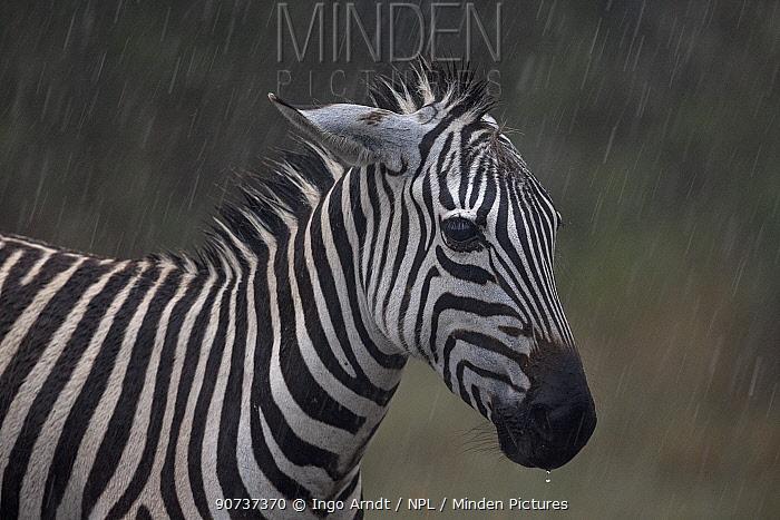 Zebra (Equus quagga) portrait, ears back standing in the rain, Masai Mara Game Reserve, Kenya