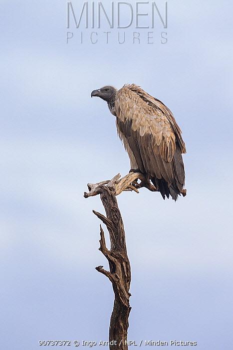 White-backed vulture (Gyps africanus) sitting on tree, Masai-Mara Game Reserve, Kenya