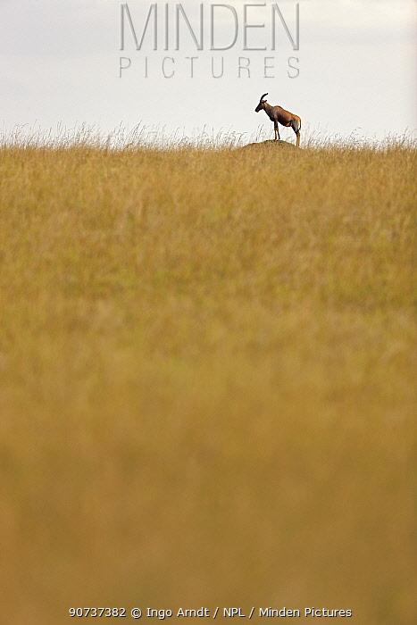 Topi (Damaliscus lunatus) standing on termite mound, Masai Mara National Reserve, Kenya
