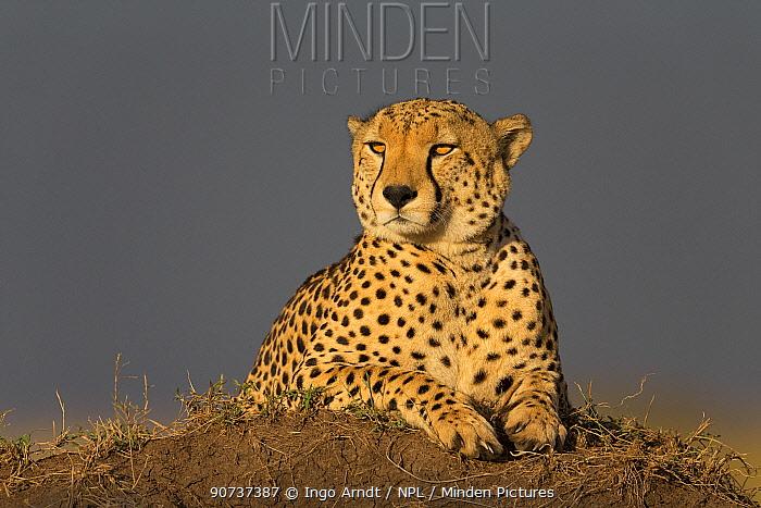 Cheetah (Acinonyx jubatus) male resting on a termite mound, Masai Mara National Reserve, Kenya
