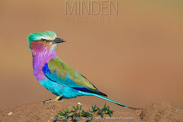 Lilac-breasted Roller (Coracias caudata) perched on termite mound, looking for insects, Masai Mara National Reserve, Kenya