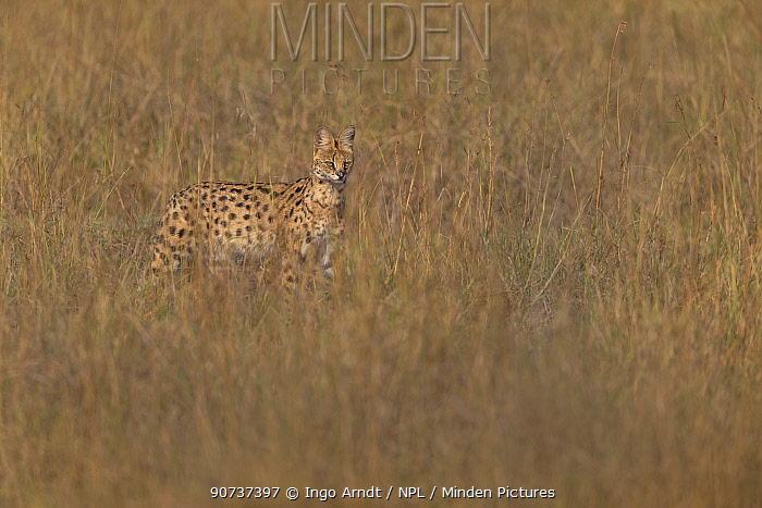 Serval (Felis serval) in tall grass, Masai Mara National Reserve, Kenya