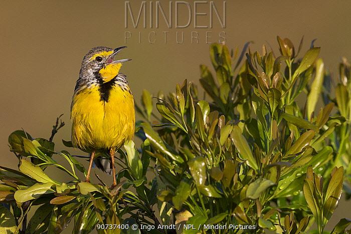 Yellow-throated Longclaw (Macronyx croceus) adult singing, Masai Mara game Reserve, Kenya