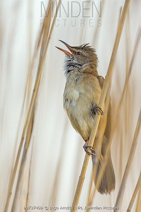 Great reed-warbler (Acrocephalus arundinaceus) singing in reed, Lake Neusiedl, Austria , April.