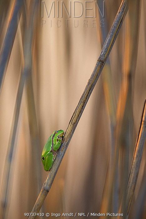 European tree frog (Hyla arborea) sitting in reed, Lake Neusiedl, Austria , April.