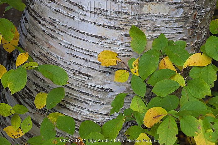 Birch (Betula sp.) tree in autumn, Roderick Haig-Brown Provincial Park, British Columbia, Canada October.