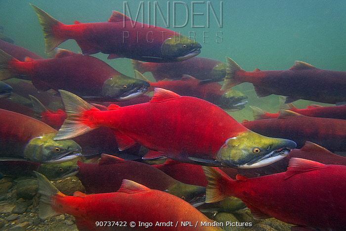 Sockeye salmon (Oncorhynchus nerka) group swimming upstream during spawning run, Adams River, Roderick Haig-Brown Provincial Park, British Columbia, Canada October.