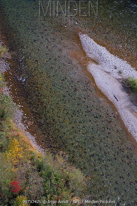 Sockeye Salmon (Oncorhynchus nerka) swimming upstream during spawning run (aerial photo), Adams River, Roderick Haig-Brown Provincial Park, British Columbia, Canada October.