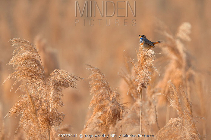 Bluethroat (Luscinia svecica) male singing and displaying, sitting on reed, Hessen, Germany April.
