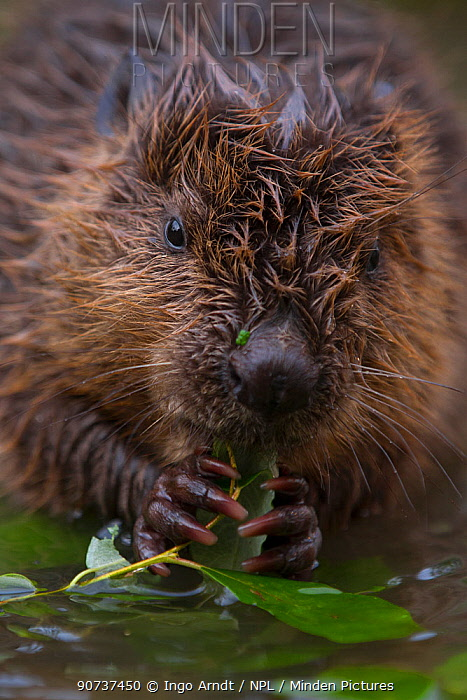 European Beaver (Castor fiber) juvenile (two month old) sitting in shallow water feeding on willow twig , Bavaria, Germany, July.